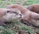 Die Otter.
