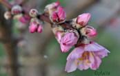 Mandeblüte Gimmeldingen, Rheinland-Pfalz