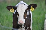 Schollener Kuh