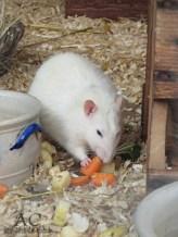 Ratte beim Fressen