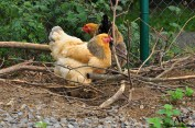 Brahma-Hühner