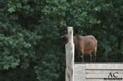 Ziege auf Ziegenbrücke :D