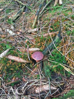 Viele Pilze wachsen grad rund um den Rothaarsteig
