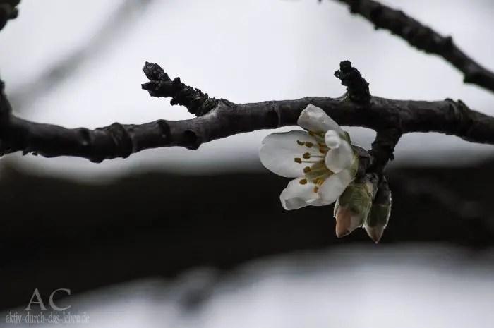 Mandelblüte 01 2016
