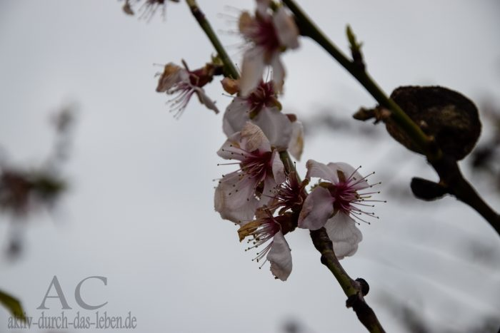 Mandelblüte 2016
