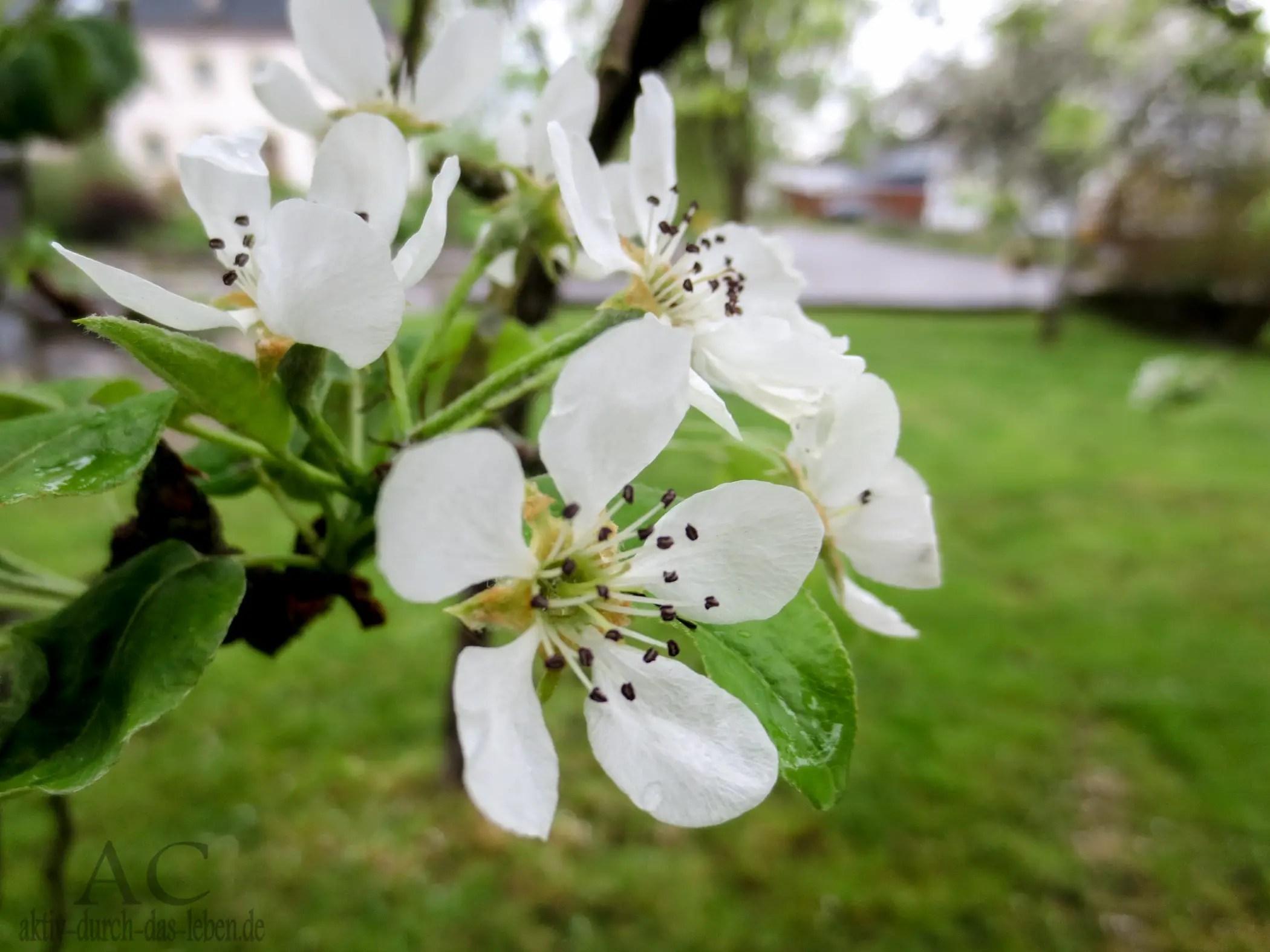 Draßen blühten die Obstbäume - ideal für die Bienstöcke im Garten