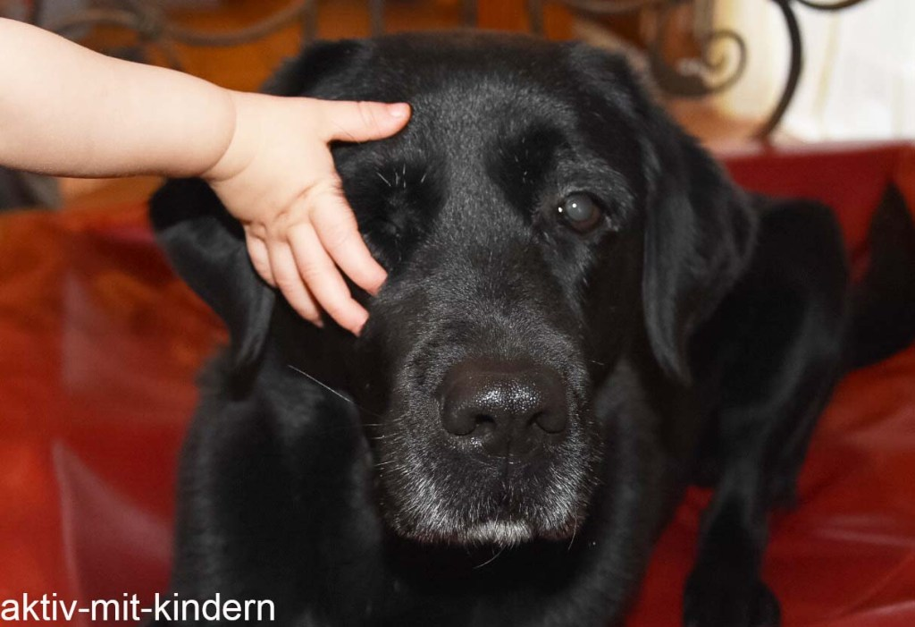 Familienhund Labrador