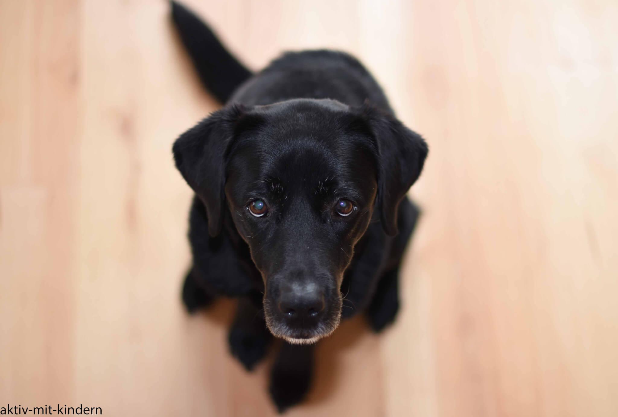 Ein Labrador Aus Arbeitslinie Der Perfekte Familienhund Aktiv