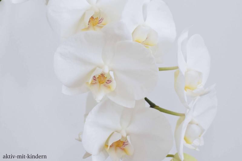 Orchidee dekorative Zimmerpflanze
