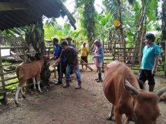 Petugas Peternakan dan Kesehatan Hewan Dinas Pertanian Kabupaten Mukomuko, Provinsi Bengkulu, sedang memberikan pelayanan pemeriksaan kesehatan hewan milik masyarakat di daerah ini.(Foto Istimewa)