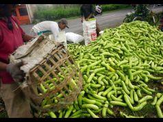 Petani memanen sayur terong (Solanum melongena) jenis hitavi atau terong hijau di areal persawahan Pucung, Tulungagung, Jawa Timur, Rabu (19/2/2020).