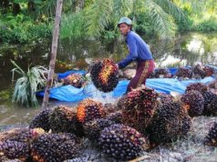 Seorang petani membongkar muatan tandan buah segar (TBS) sawit dari dalam sebuah perahu pada musim banjir di Desa Raja Bejamu Kabupaten Rokan Hilir, Riau