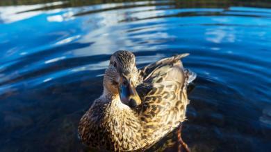 Bild von H5N8 Erreger bei Ente in Bergedorf nachgewiesen