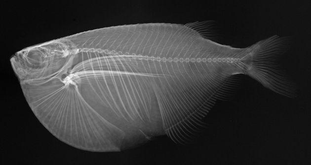 Balıkların X-ray Görüntüleri - Gasteropelecus maculatus