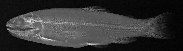 Balıkların X-ray Görüntüleri - Oncorhynchus mykiss