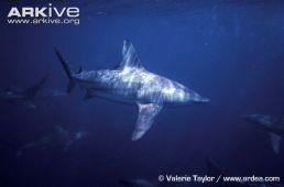 Sivriburun Camgöz - Carcharhinus brevipinna