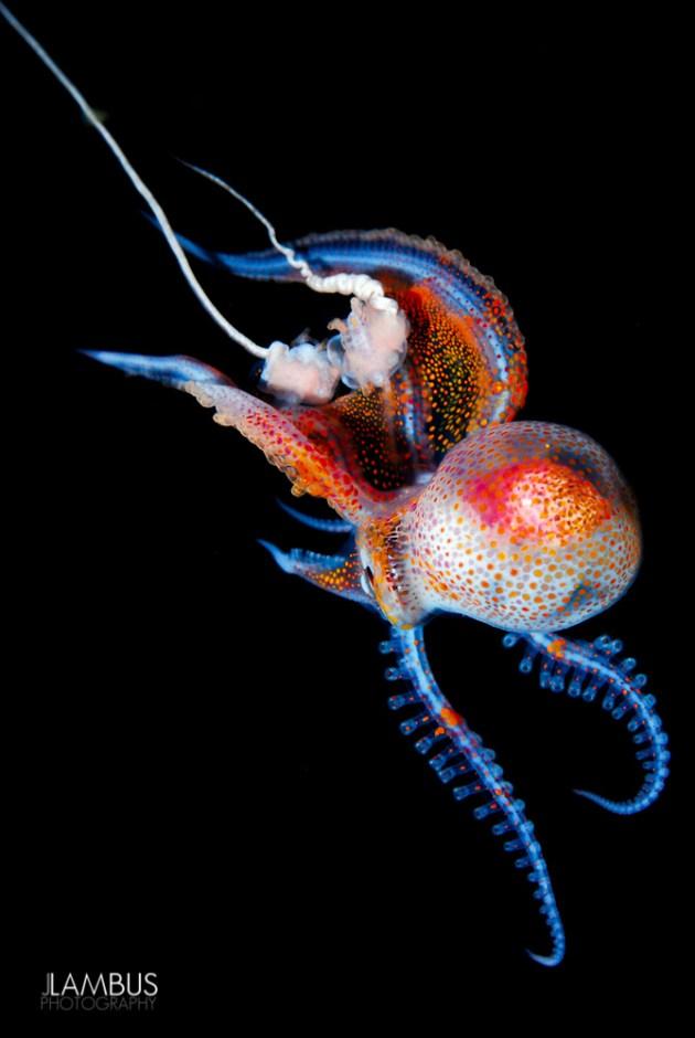 battaniye-ahtapotu-Tremoctopus-3