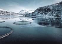 Kayıp 8 Milyon Somon Balığı | Norveç
