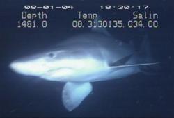 Pamuk Balığı - Odontaspis ferox