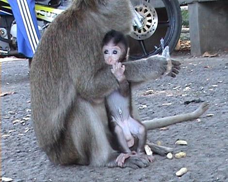 induk monyet dan anaknya