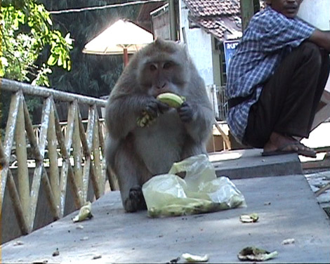 monyet sedang memakan buah
