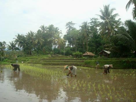 Para petani Bayan sedang menanam padi di Bangket (sawah)