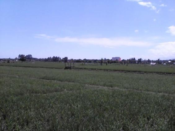 Hamparan sawah yang diisukan akan menjadi Bandara Mini (pemandangan ke arah Timur)