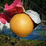 新雪梨は半世紀以上前に作られた超大玉の梨で希少、市場出ることもめったにない梨