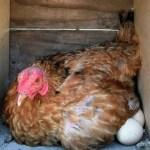 比内地鶏のガラ 約10羽〜15羽程度のガラを5kgの箱詰めしました。(冷凍)