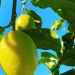 熱海グリーンレモンの特異な香りも残しつつ、中身の充実も同時進行