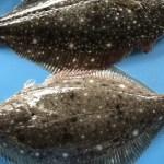 活魚のイシガレイを活け〆、神経抜きしてお送り致します。1〜2匹入りで800g〜1.2kg