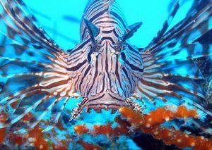 Lejonfisk