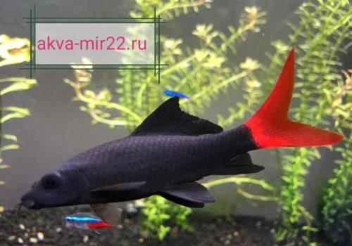 Лабео красно хвост чёрный с красным хвлстовым плавником