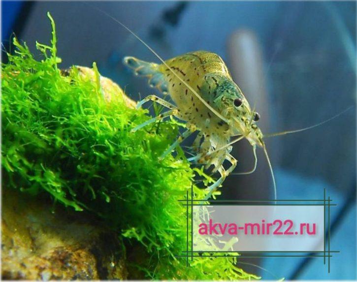 Криветки для аквариума : Амано желто-оранжево-зеленого цветов на мохе и голубом фоне