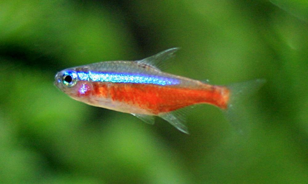 Kardinaltetra, neontetra eller falsk neontetra – hviken passer best i akvariet ditt?