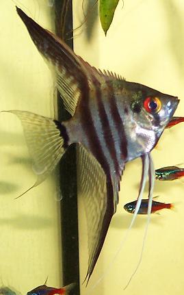 De 10 vanligste fiskene i selskapsakvariet