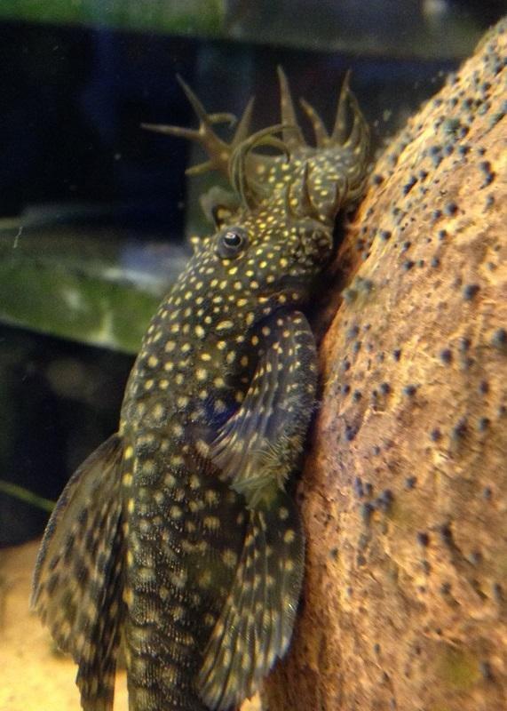 """Ancistrus sp. """"oppdrettvariant"""" - en voksen hann med store utvekster på snuta."""
