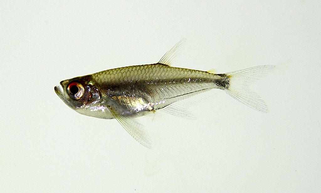 Arowanatetra (Gnathocharax steindachneri)
