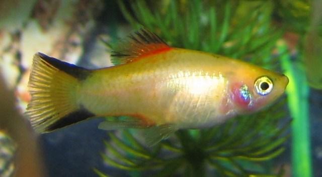 "Platy (Xiphophorus maculatus) ""Gold Twin Bar"" variant"