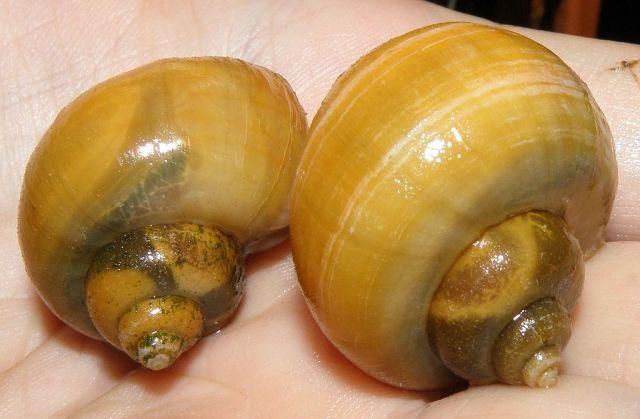 Eplesnegler (Pomacea diffusa)