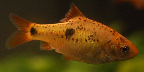 "Gullbarbe (Puntius semifasciolatus var. ""Schuberti"")"