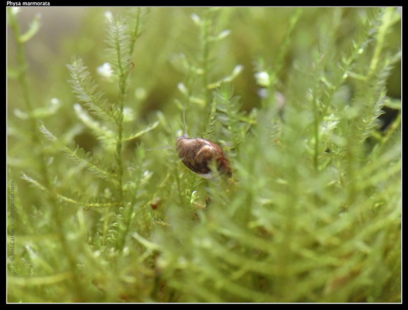 Snegle som beiter på javamose (Taxiphyllum barbieri).