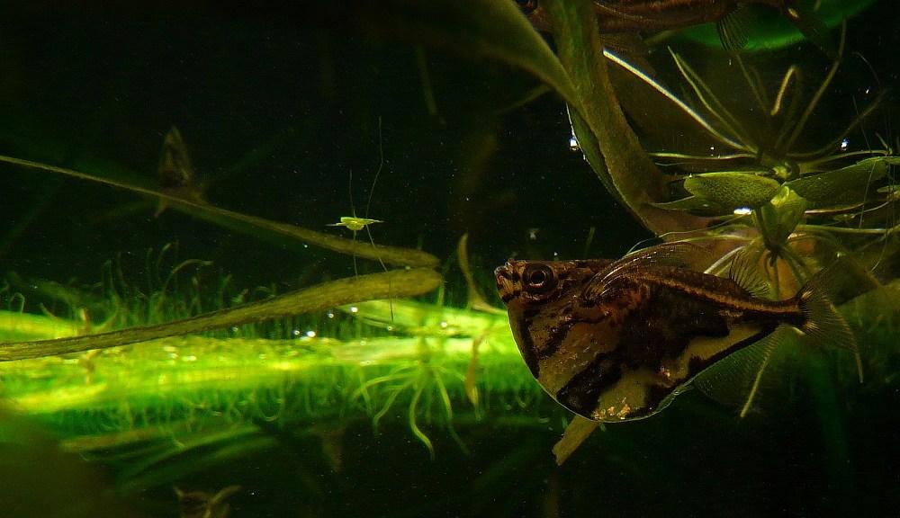 Marmorert øksefisk (Carnegiella strigata)