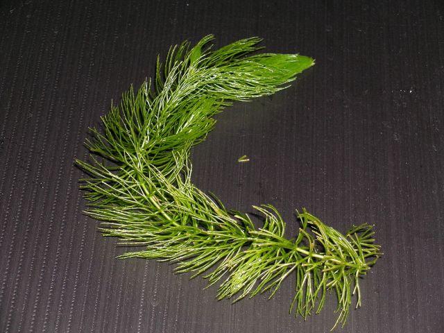 Hornblad (Ceratophyllum demersum).