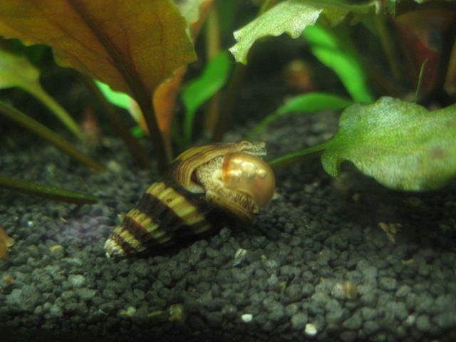 Jegersnegle (Anentome sp.) som spiser en pestsnegle.