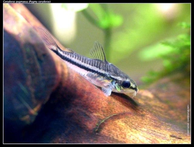 Pygmépansermalle (Corydoras pygmaeus)
