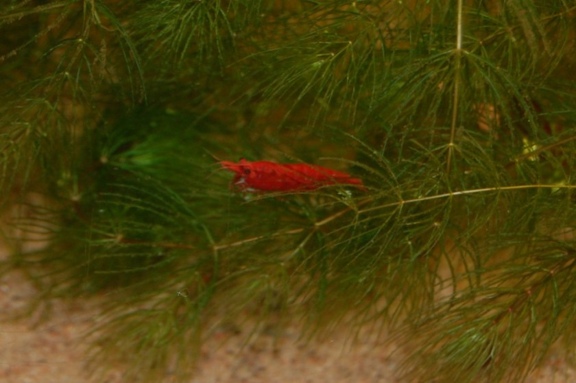 "Kirsebærreke (Neocaridina davidi var. ""red"")."