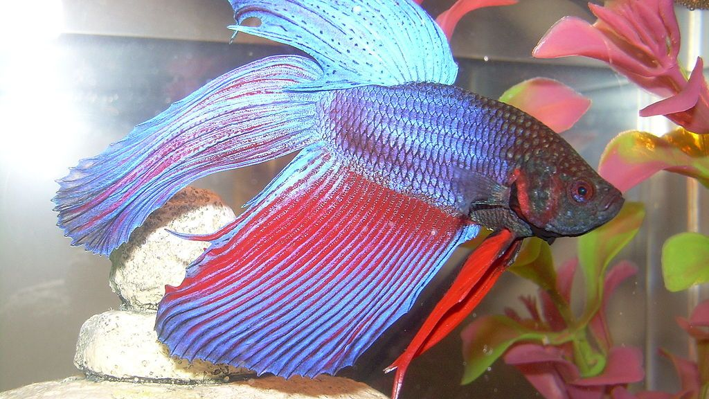 Kampfisk (Betta splendens)