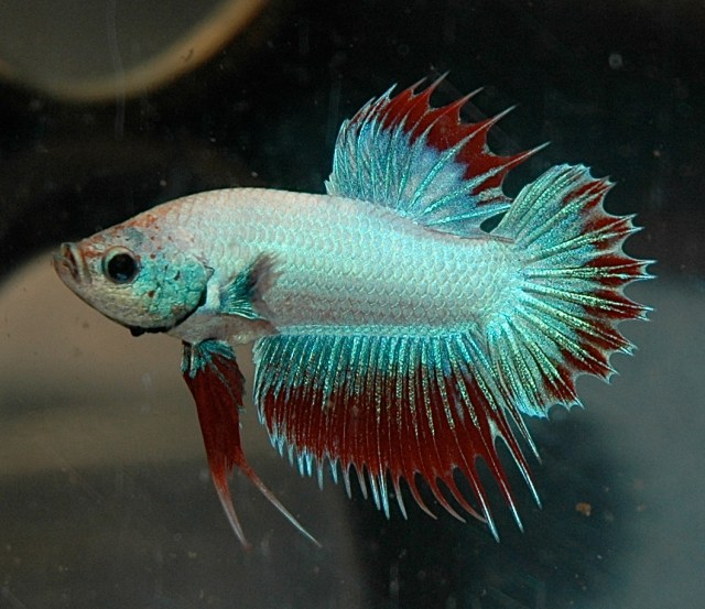 Kampfisk (Betta splendens) plakat crowntail
