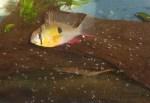 Boliviansk sommerfuglciklide (Mikrogeophagus altispinosus) hunn med yngel